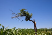 Tough Tree by safaribears