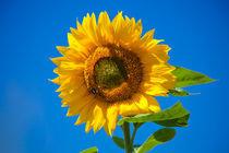 Sunflower von safaribears