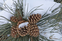 Pine Cones Winter von Barbara Magnuson & Larry Kimball
