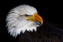 american bald eagle VI by André Zeischold