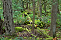Temperate Rainforest von Louise Heusinkveld