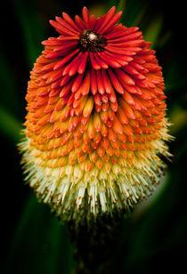 Torch Lily von David Croad