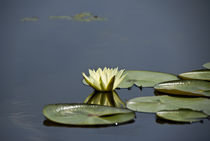 Water lily in the Srinagar's Lake, INDIA von Alessia Travaglini