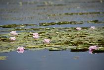 Water lilies in the Srinagar's Lake, INDIA by Alessia Travaglini