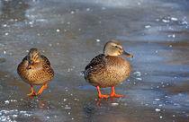 Enten auf dem Eis von Wolfgang Dufner