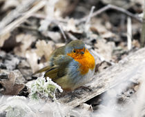 Chilly robin by Graham Prentice