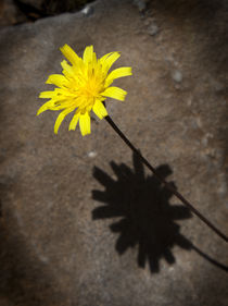 Yellow daisy with shadow by Graham Prentice