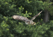 Eagle owl in flight by Graham Prentice