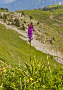 Swiss orchid by Graham Prentice