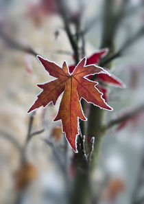 Acer leaf with frosty outline by Graham Prentice