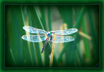 Green-Eyed Dragonfly by Christi Ann Kuhner