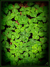 Wood Sorrel by Christi Ann Kuhner
