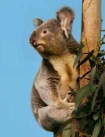 Koala in eucalyptus tree  von Linda More