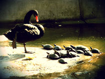 Black swan commanding over the little turtles by marga-sol