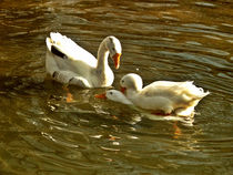 White Ducks - voyagers by marga-sol