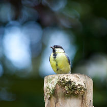 Great Tit by safaribears