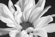 Daisy3bw