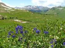 High Altitude Wildflowers by Margaret Bowles