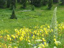 Summer Wildflowers in Colorado by Margaret Bowles