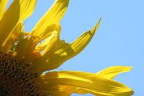 Sunflower by Kristin Scott
