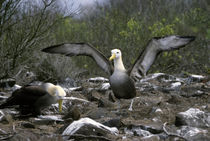 Waved Albatrosses Courtship Behavior by Wolfgang Kaehler