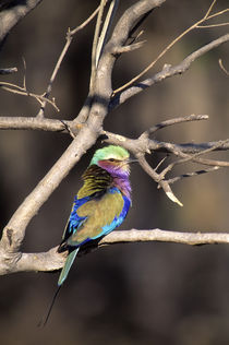 Lilac-Breasted Roller von Wolfgang Kaehler