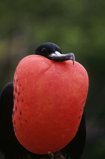 Male with Inflated Throat Pouch von Wolfgang Kaehler