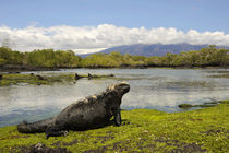 Marine Iguana Feeding on Algae at Low Tide von Wolfgang Kaehler