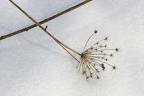 Dead Plants In Snow by Wolfgang Kaehler