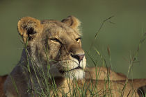 Portrait of Lioness Laying In Grass von Wolfgang Kaehler