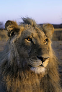 Male Lion Portrait by Wolfgang Kaehler