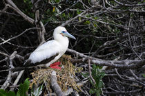 Red-Footed Booby (White Phase) Nesting In Mangrove Tree by Wolfgang Kaehler