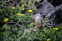 Red-Footed Booby Perched In Tree by Wolfgang Kaehler