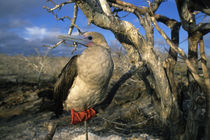 Red-Footed Booby Sitting on Branch of Tree by Wolfgang Kaehler