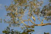 Cocoi Heron (Ardea Cocoi) Roostng In Tree by Wolfgang Kaehler