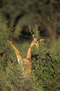 Female Feeding on Acacia Bush by Wolfgang Kaehler