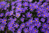 Purple Daisies by Wolfgang Kaehler