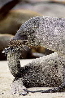 Galapagos Sea Lion Covered with Sand von Wolfgang Kaehler
