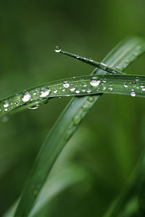 Grass with Raindrops In Spring by Wolfgang Kaehler