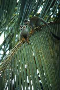 Squirrel Monkeys In Upper Canopy of Tropical Rain Forest by Wolfgang Kaehler