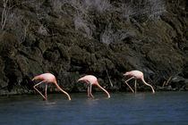 Greater Flamingos Feeding In Lagoon by Wolfgang Kaehler