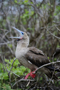 Red-Footed Booby Perched In Tree von Wolfgang Kaehler