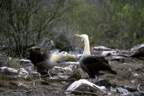 Waved Albatrosses Courtship Behavior von Wolfgang Kaehler