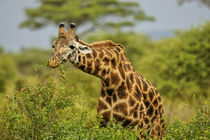 Masai Giraffe Browsing on Bush by Wolfgang Kaehler