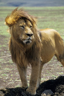 Male Lion by Wolfgang Kaehler