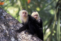 White-Faced Capuchin Monkey with Baby on Back von Wolfgang Kaehler