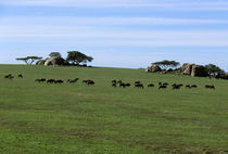 Plain with Migrating Wildebeeste and Zebras von Wolfgang Kaehler