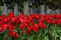 Red Tulips In Front of Wooden Fence by Wolfgang Kaehler
