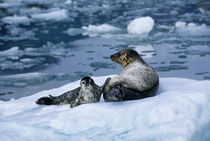 Mother with Pup on Ice Floe by Wolfgang Kaehler
