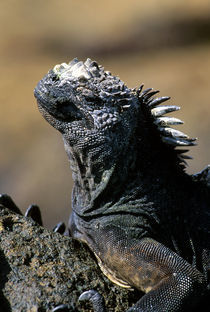 Close-Up of Marine Iguana by Wolfgang Kaehler